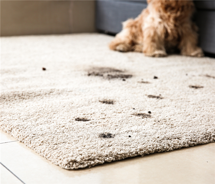 muddy paw prints on carpet